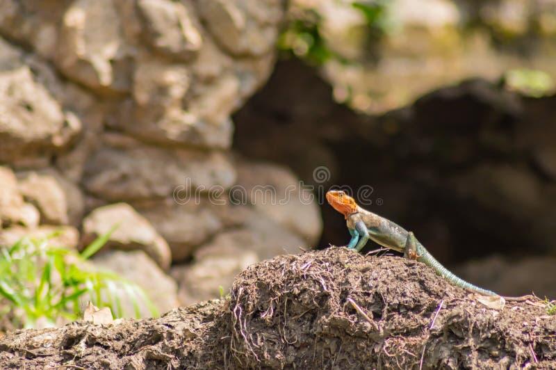 El lagarto llamó a colonos del agame en la sabana fotos de archivo