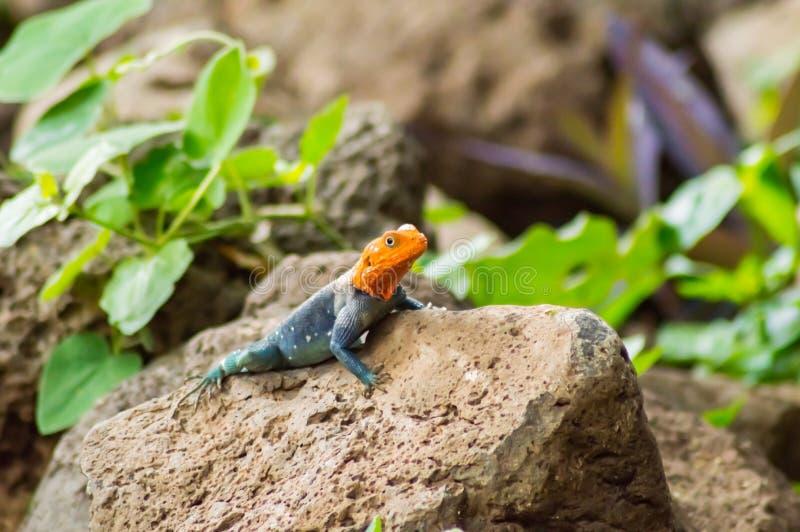 El lagarto llamó a colonos del agame en la sabana del parque de Amboseli adentro fotos de archivo