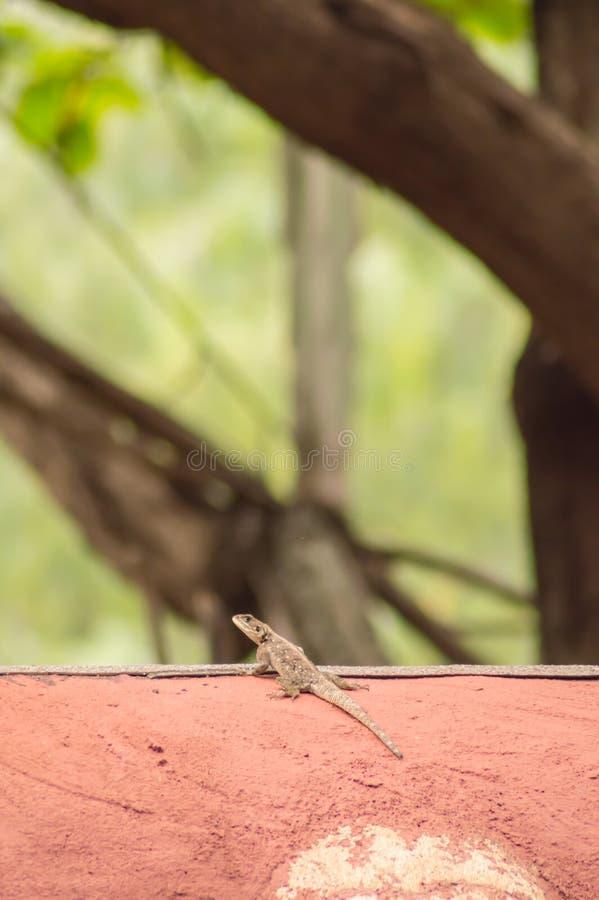 El lagarto llamó a colonos del agame en la sabana del parque de Amboseli adentro imágenes de archivo libres de regalías