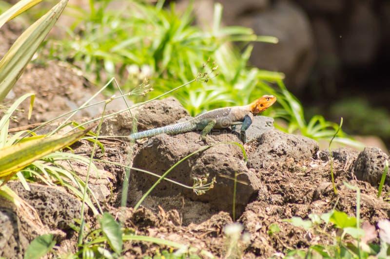 El lagarto llamó a colonos del agame en la sabana del parque de Amboseli adentro fotos de archivo libres de regalías