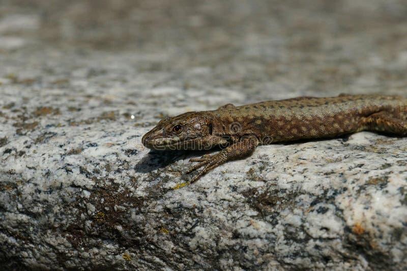 El lagarto mira sabiamente directamente en el observador y se sienta en el borde de piedra imágenes de archivo libres de regalías