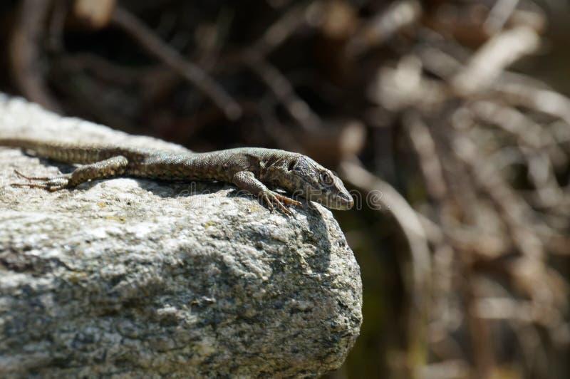 El lagarto mira sabiamente directamente en el observador y se sienta en el borde de piedra fotografía de archivo libre de regalías