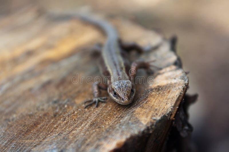 El lagarto se calienta en el sol imagen de archivo