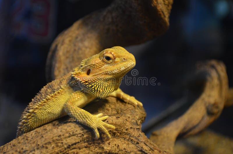 El lagarto toma el sol en una rama y mira en un terrario fotos de archivo