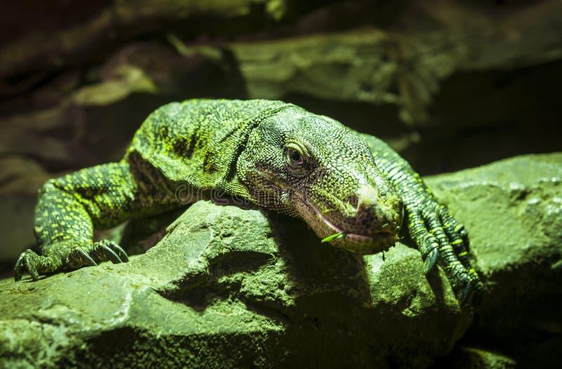 El lagarto verde grande imágenes de archivo libres de regalías