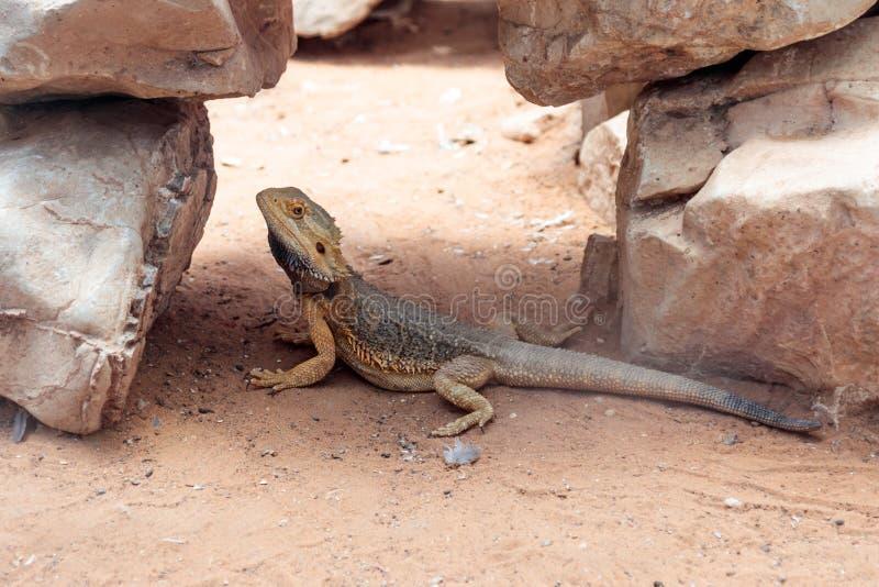 El lagarto - vitticeps de Pogona - Agama barbudo se sienta en la tierra en el parque zoológico australiano Gan Guru en Kibutz Nir fotos de archivo libres de regalías