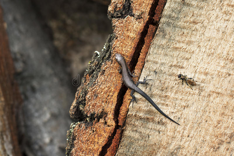 El lagarto y la mosca foto de archivo