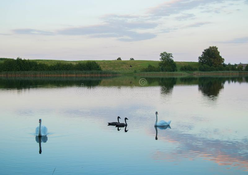 El lago brillante con los cisnes recubre con caña el bosque y el puente en el día de verano soleado imagen de archivo