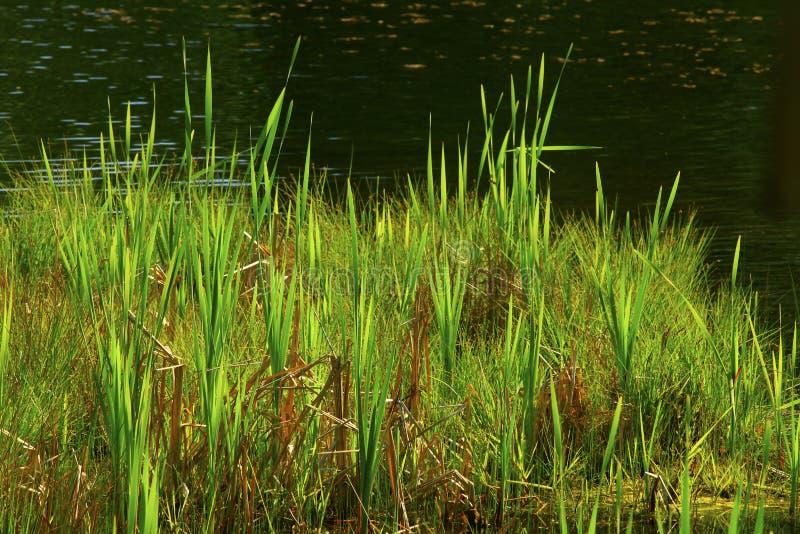 El lago del noroeste pacífico del agua dulce con agua recubre con caña foto de archivo