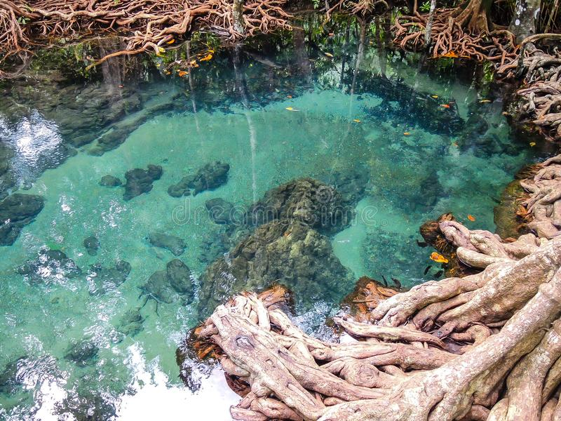 El lago verde claro hermoso del agua con el bosque del árbol arraiga en Krabi, parque nacional de Tailandia fotografía de archivo libre de regalías