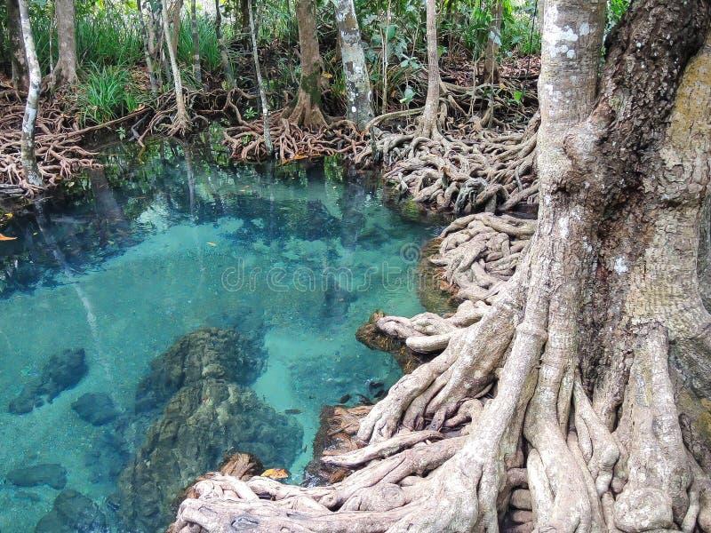 El lago verde claro hermoso del agua con el bosque del árbol arraiga en Krabi, parque nacional de Tailandia imágenes de archivo libres de regalías