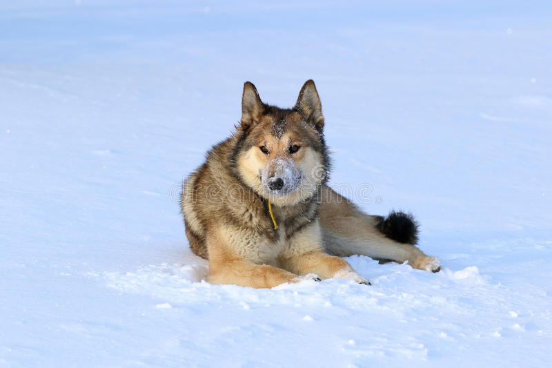 El laika siberiano del oeste Perro de caza que descansa en la nieve foto de archivo libre de regalías