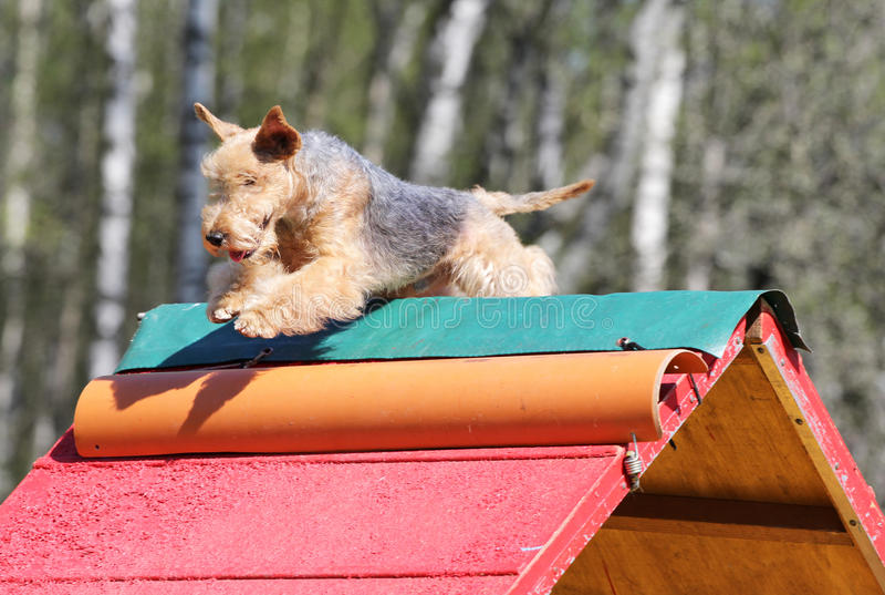 El Lakeland Terrier en el entrenamiento en agilidad del perro imagen de archivo