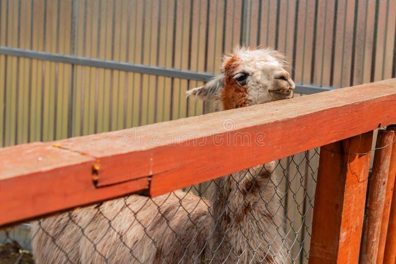 El lama blanco mira fuera de la jaula al aire libre de un parque zool?gico fotografía de archivo libre de regalías