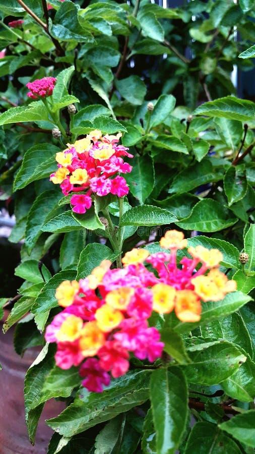 El Lantana florece las plantas fotos de archivo libres de regalías
