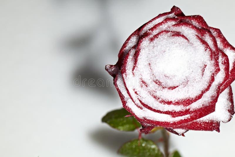 El lanzamiento macro de un rojo congelado se levantó en nieve foto de archivo
