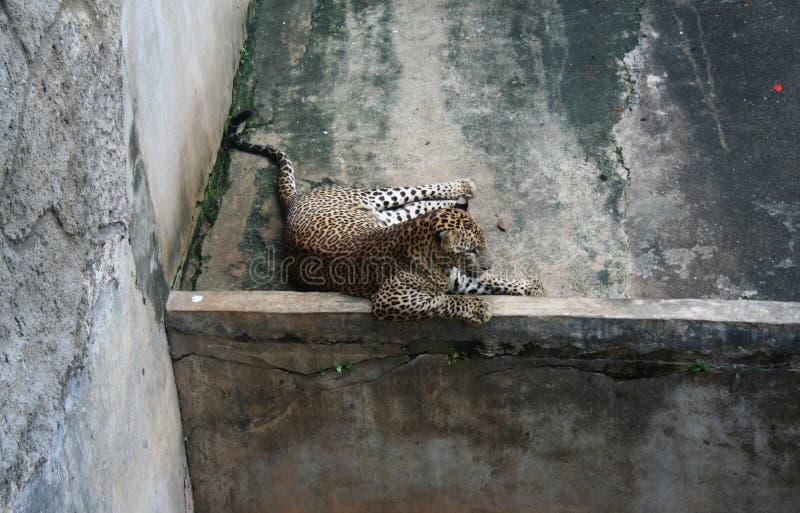 El lazing dormido del leopardo en el sol que miente en su cara y reclinación fotos de archivo
