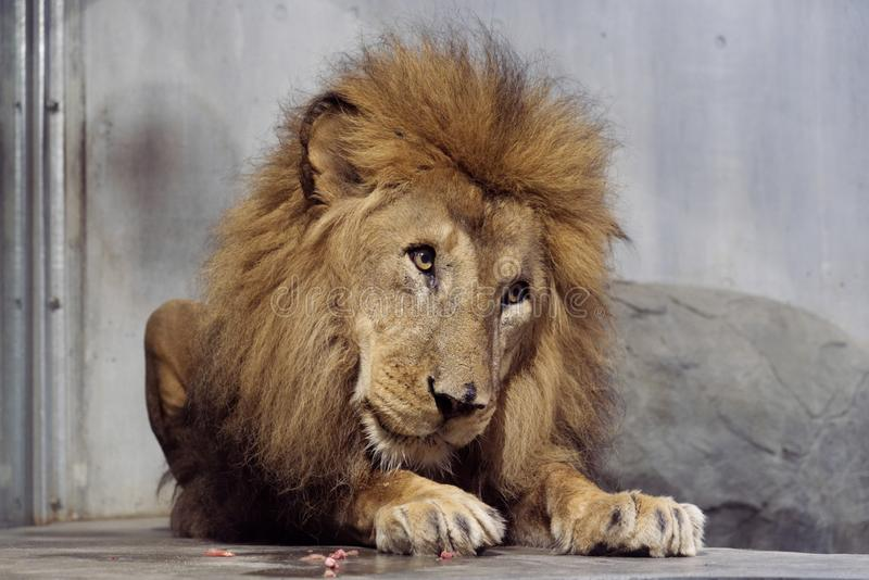 El león lindo masculino grande que se sienta en el piso en parque zoológico imagen de archivo libre de regalías