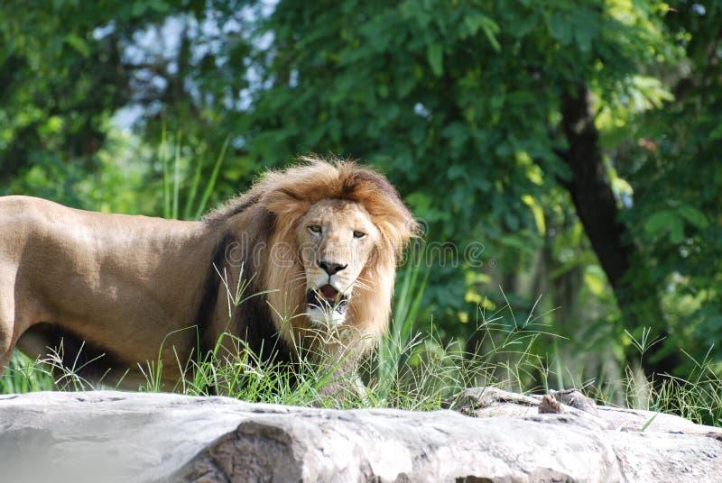 El león masculino de vagabundeo con su boca se abre levemente imágenes de archivo libres de regalías