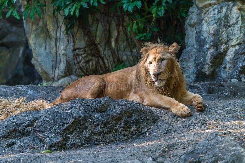 El león masculino joven está descansando imagenes de archivo