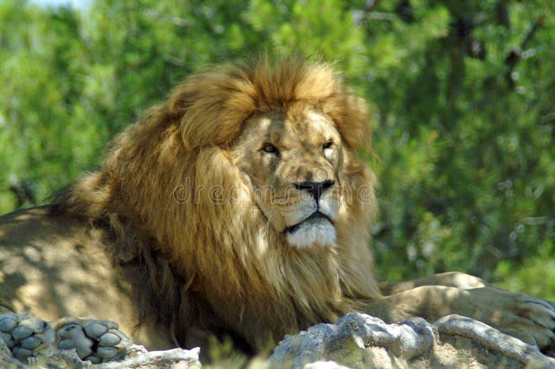 El león miente debajo de un árbol foto de archivo