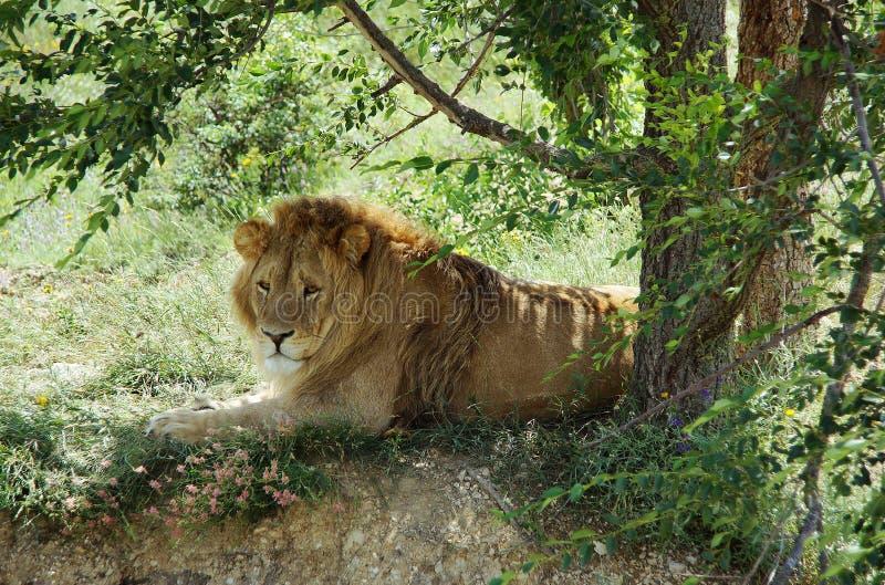 El león miente debajo de un árbol imágenes de archivo libres de regalías