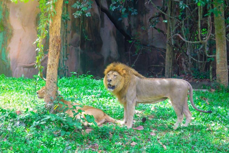 El león miente debajo del árbol foto de archivo libre de regalías