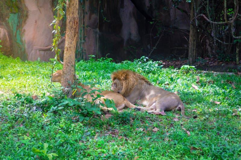 El león miente debajo del árbol fotos de archivo
