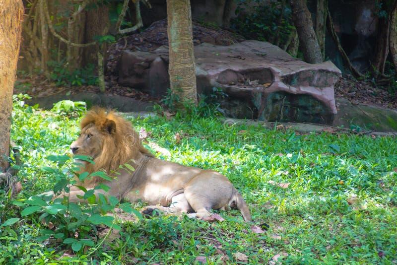 El león miente debajo del árbol foto de archivo