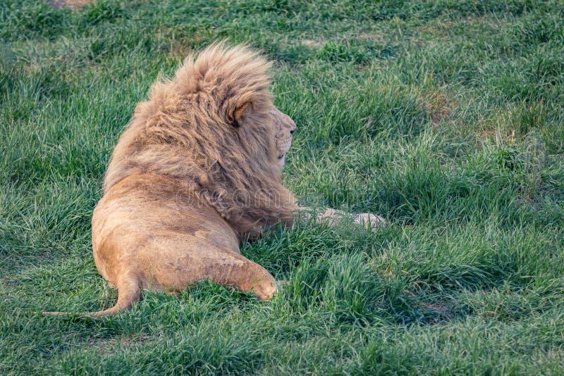 El león miente en la hierba verde imagen de archivo