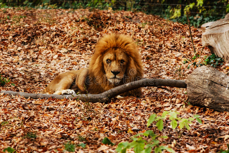 El león que descansa en las hojas de otoño imagenes de archivo