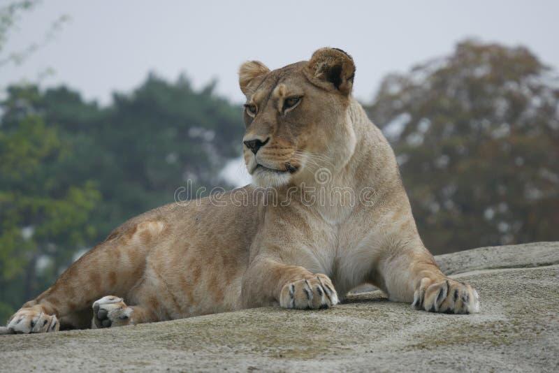 El león se relaja fotos de archivo libres de regalías