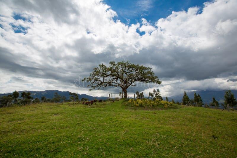 EL Lechero, el árbol sagrado de Otavalo imagen de archivo libre de regalías