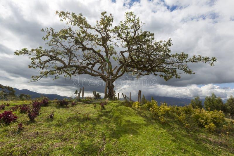 EL Lechero, el árbol sagrado de Otavalo imagen de archivo