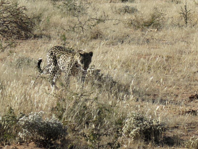el leopardo africano Radio-agarrado viene rondando a través de hierba seca en luz de la madrugada en la reserva de naturaleza de  foto de archivo libre de regalías