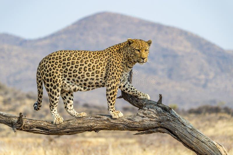 El leopardo en Namibia foto de archivo