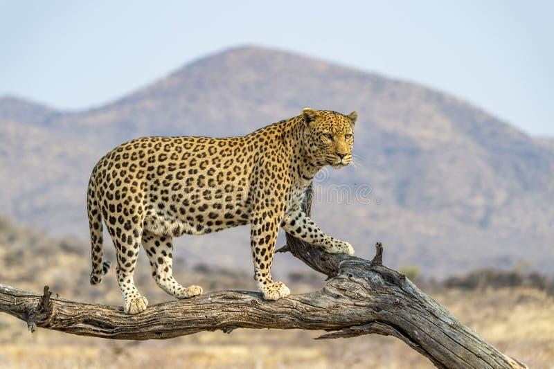 El leopardo en Namibia fotografía de archivo
