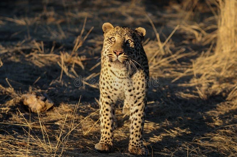 El leopardo está mirando foto de archivo