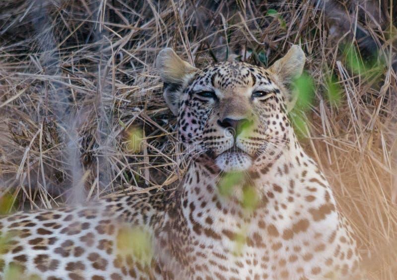 El leopardo mirando al sol fotos de archivo