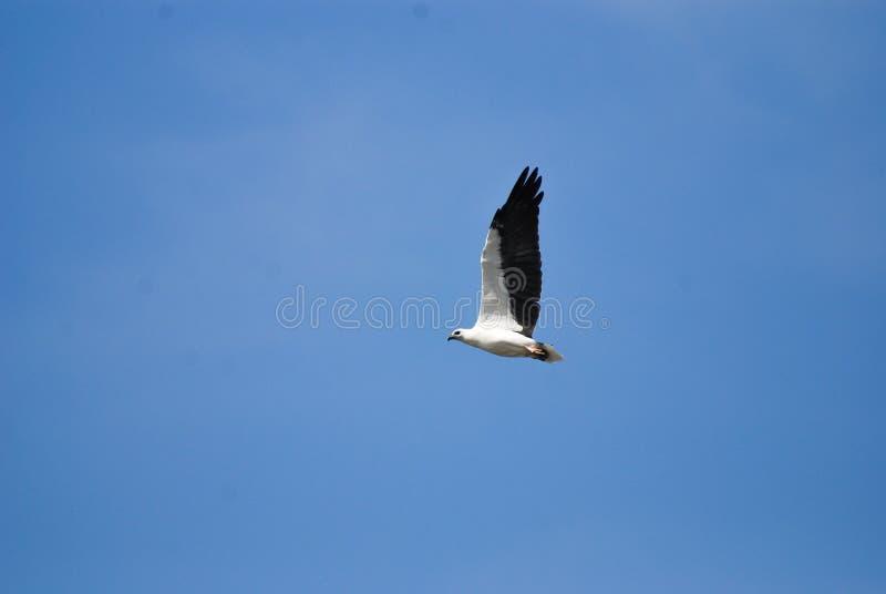 El leucogaster blanco-hinchado del Haliaeetus del águila de mar foto de archivo libre de regalías