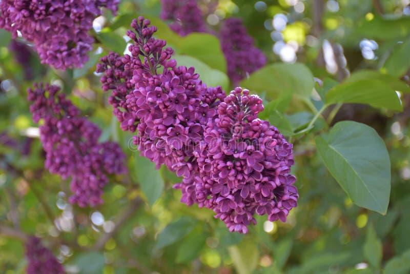 El levantarse cerca con la lila Bush floreciente púrpura fotografía de archivo libre de regalías