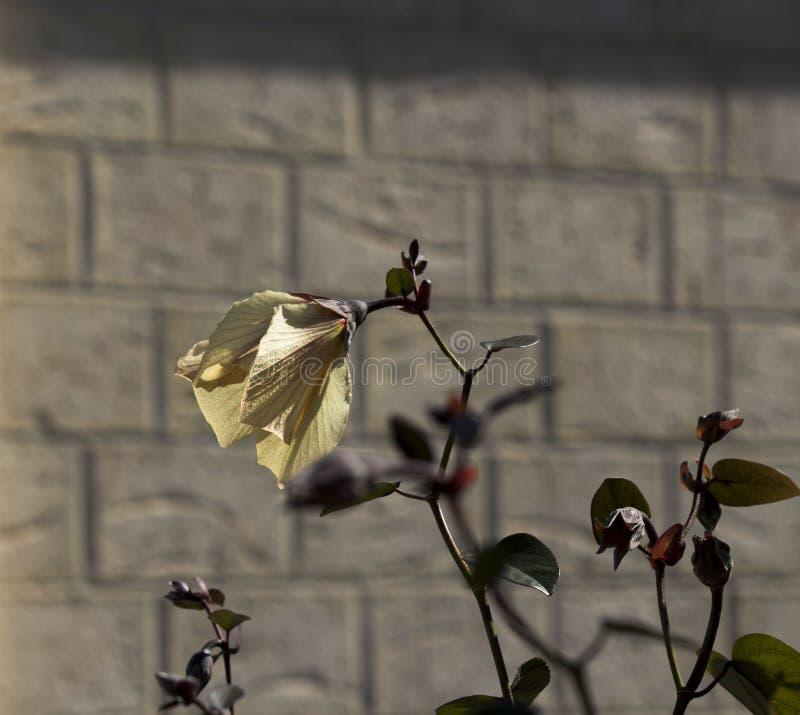El limón grande delicado y el rojo teñieron las flores de la dalia del árbol en verano tardío fotos de archivo