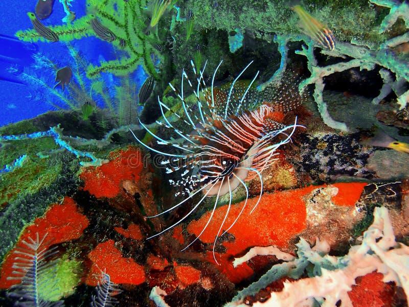 El lionfish y también llamó zebrafish, firefish, turkeyfish o mariposa-bacalao durante una zambullida del ocio en Tunku Abdul Rah fotos de archivo libres de regalías