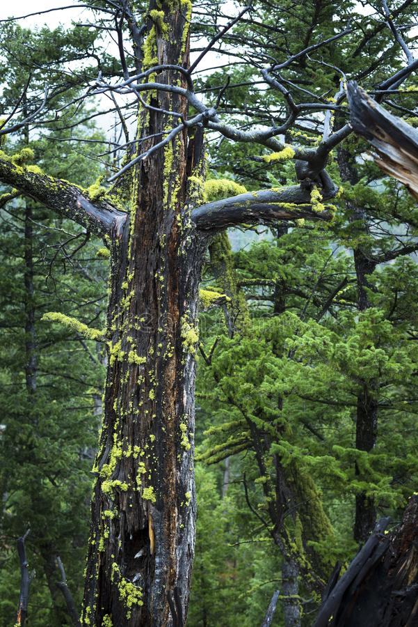 El liquen amarillo crece en árbol de pino muerto fotos de archivo libres de regalías