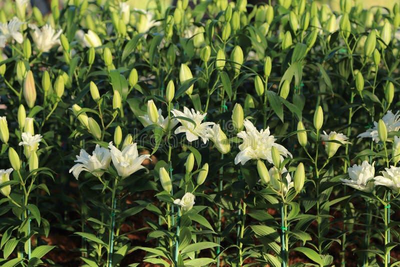 El lirio blanco florece en jardín, la floración y el brote fotografía de archivo