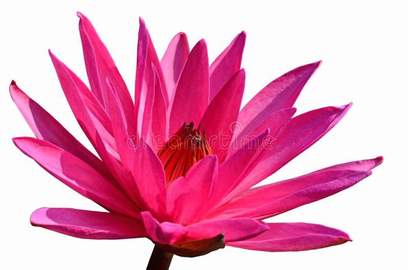 El lirio de agua rosado hermoso florece en el fondo blanco imagen de archivo