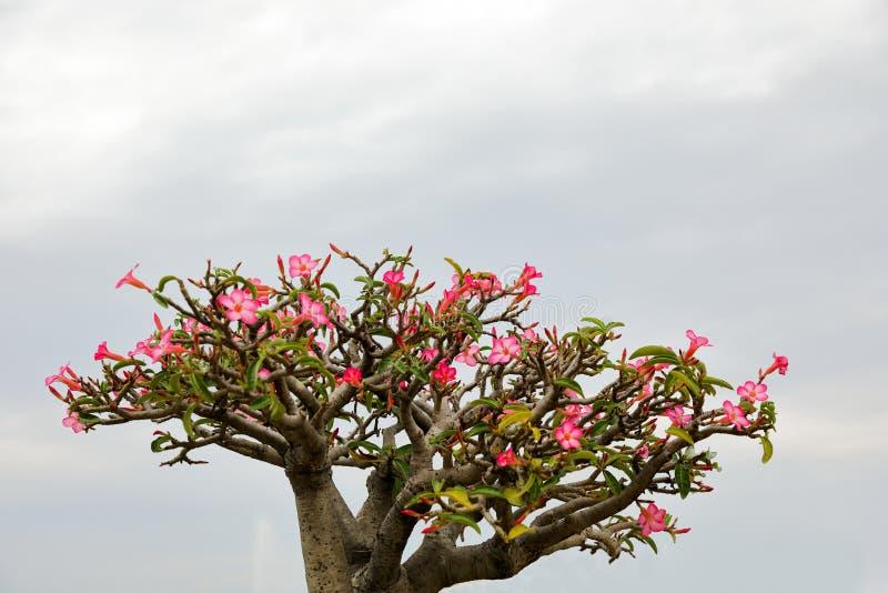 El lirio de impala o la flor de la azalea tiene flores rosadas hermosas imagen de archivo libre de regalías