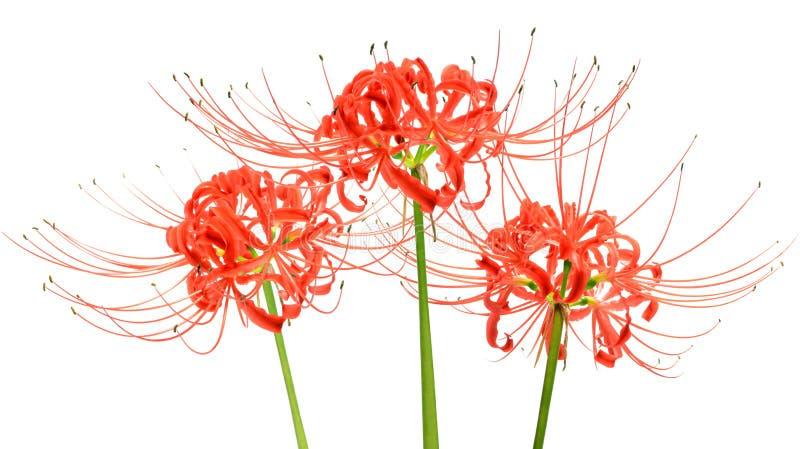 El lirio de la araña roja florece, o radiata de Lycoris, aislado en el fondo blanco imagen de archivo