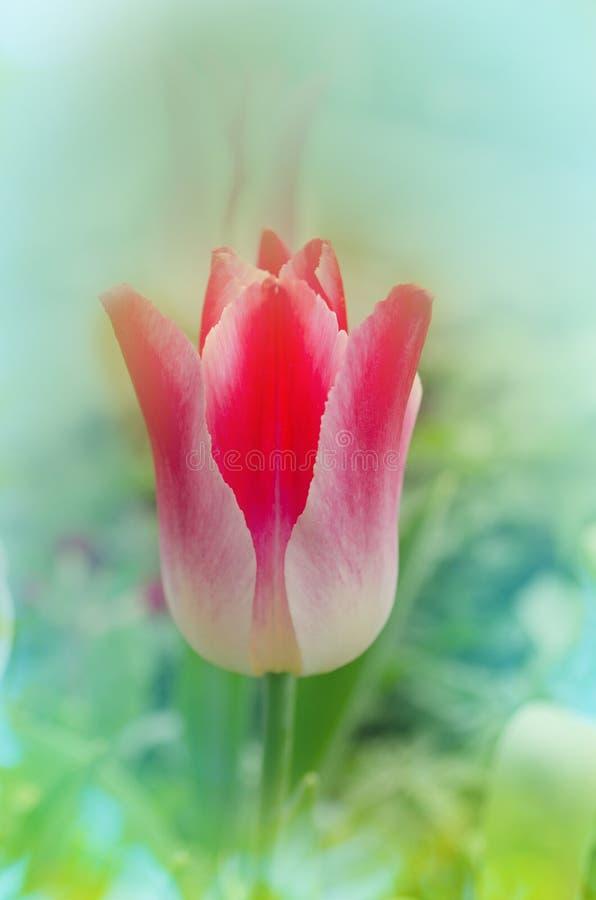 El lirio rosado formó los tulipanes que susurraban el sueño que florecía en jardín fotos de archivo libres de regalías