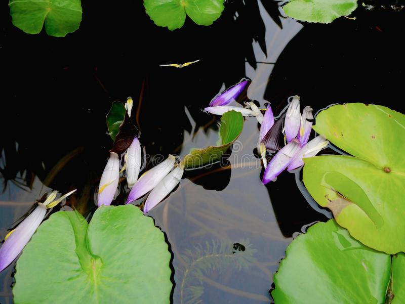 El lirio verde hermoso del loto o de agua hojea en la charca de agua imagenes de archivo